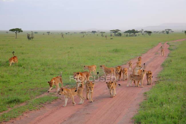 Очаровательны гордость молодые львы — стоковое фото