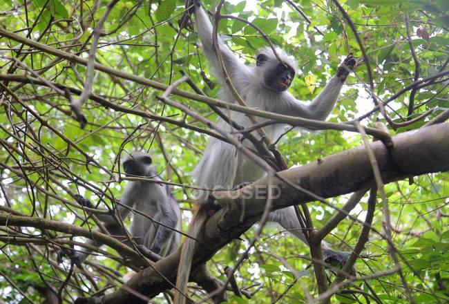 Singes dans la forêt tropicale humide, île de Zanzibar, Tanzanie — Photo de stock
