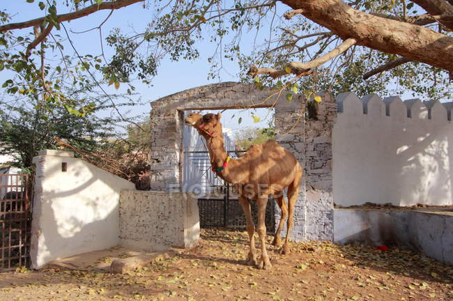Camel at the Pushkar Fair — Stock Photo
