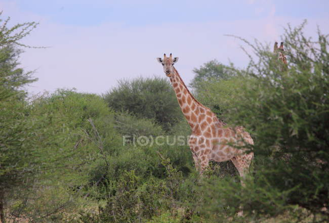 Girafe curieuse (Giraffa camelopardalis ) — Photo de stock