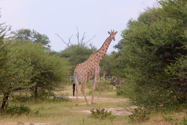 Curieuse girafe (Giraffa camelopardalis) — Photo de stock