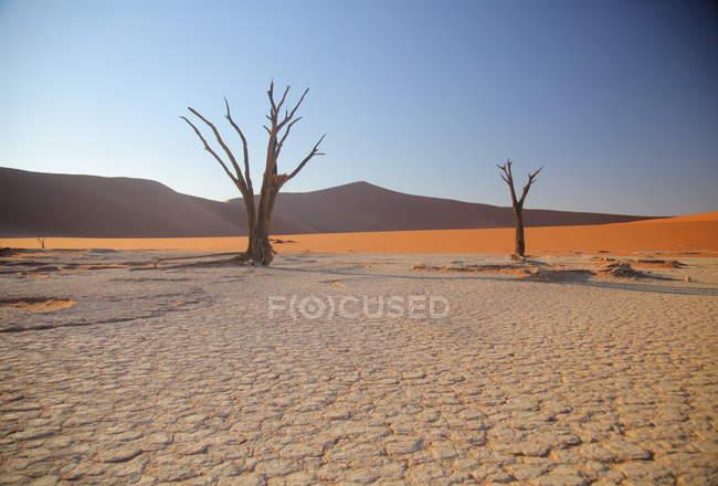 Árvores de Acacia Deadvlei — Fotografia de Stock