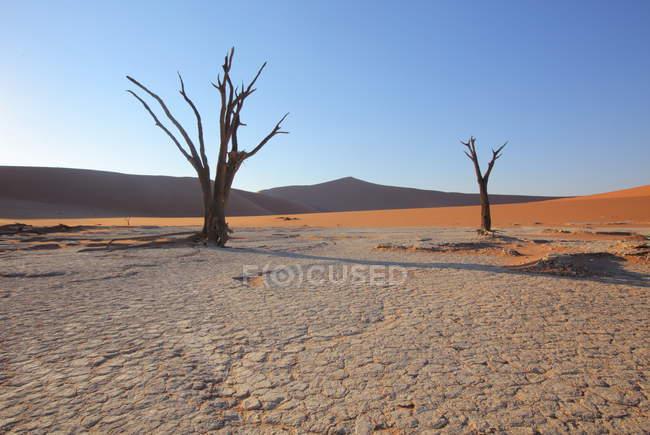 Deadvlei Acacia Arbres — Photo de stock