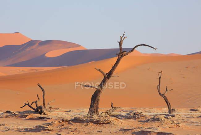 Alberi di Acacia di Deadvlei — Foto stock