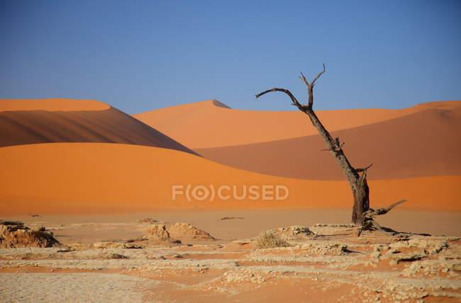 Deadvlei Acacia Tree ,Naukluft Park — Stock Photo