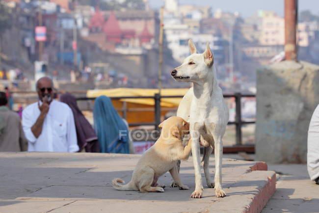 Hundemama mit Welpe in Indien — Stockfoto