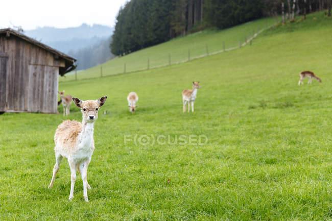 Cute little fawns on green grass — Stock Photo