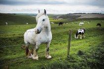 Groupe de chevaux broutant l'herbe — Photo de stock