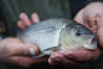 Man holding a young carp fish — Stock Photo
