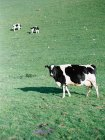 Drei Kühe in einem Feld — Stockfoto