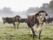 Longhorn худоби в поле — стокове фото