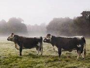 Kühe auf einem Feld an einem nebligen Morgen. — Stockfoto