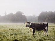 Корова в поле туманным утром . — стоковое фото