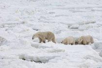Polar bears group in wild — Stock Photo