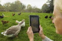 Woman taking photograph of geese — Stock Photo