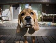 Милий пес Бігль пильно дивлячись на камеру — стокове фото