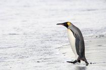 Дорослий короля пінгвін — стокове фото