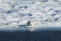 Oso polar sobre hielo - foto de stock