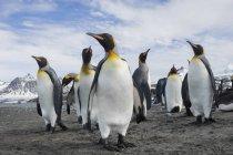 Група Королівські пінгвіни — стокове фото