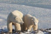Eisbären nebeneinander — Stockfoto