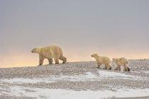 Gruppo di orsi polari — Foto stock