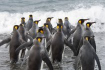 Group of king penguins — Stock Photo