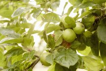 Manzanas verdes en las ramas - foto de stock