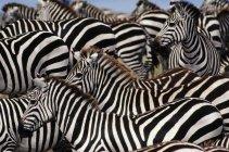 Zebra-Herde, Equus quagga — Stockfoto