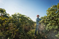 Человек, выращивающий виноградные лозы — стоковое фото