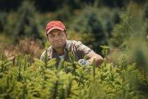 Coupure et l'élagage d'une récolte de conifères de l'homme — Photo de stock
