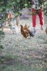 Pollos de pie sobre un césped - foto de stock