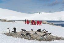 Люди, глядя на небольшой колонии пингвинов — стоковое фото