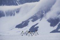 Пингвины-короли пересекают лёд — стоковое фото