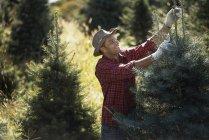 Uomo in piantagione di alberi di Natale — Foto stock