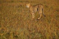 Chasse guépard Acinonyx jubatus — Photo de stock