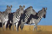 Zebras, Equus quagga — Stockfoto