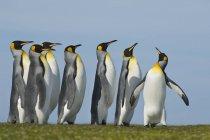 Король пінгвіни, великі пінгвіни patagonicus — стокове фото