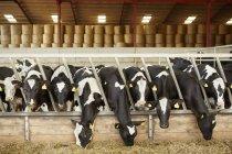 Rangée de bétail nourrit de foin — Photo de stock