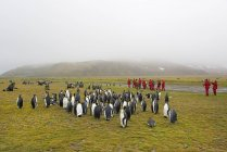 People watching colony of King Penguins — Stock Photo