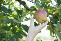 Mano femmina che raggiunge per mela fresca — Foto stock