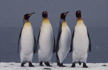 Pinguini del re corteggiamento — Foto stock