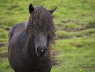 Icelandic horse with dark coat — Stock Photo