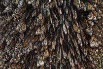 Borboletas monarca, plexipo de Danaus — Fotografia de Stock