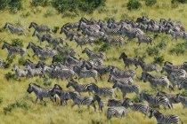 Zebre in migrazione, Equus quagga — Foto stock