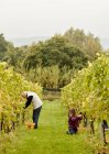 People picking grapes in a vineyard. — Stock Photo
