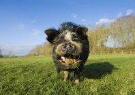 Cerdo vietnamita pote vientre - foto de stock