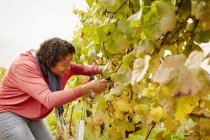 Woman selecting bunches of grapes — Stock Photo
