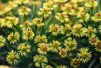 Euphorbia flowers, Euphorbia sp. — Stock Photo