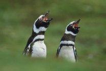 Магелланові пінгвіни виклик — стокове фото