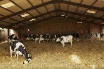 Rebanho de vacas sob cobertura — Fotografia de Stock